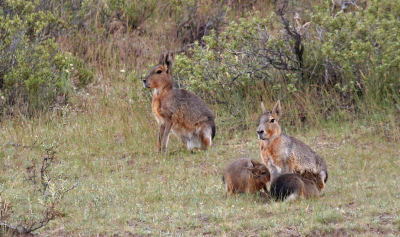 "The Mara, or Patagonian Hare, not a hare at all but a relative of the guinea pig. <div id=""caption_tourlink"" align=""right""> [photo © guide George Armistead]</div>"
