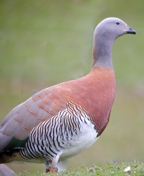 "Ashy-headed Goose <div id=""caption_tourlink"" align=""right""> [photo © guide John Rowlett]</div>"