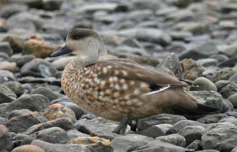 "Crested Duck <div id=""caption_tourlink"" align=""right""> [photo © guide George Armistead]</div>"