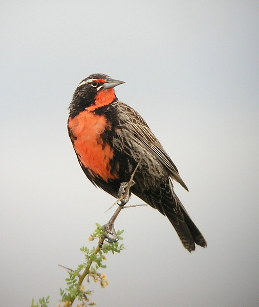 """Pictured here is a signature bird of Patagonia, the Long-tailed Meadowlark. As we move south from the Pampas and Buenos Aires Province and into monte scrub of Patagonia, these birds become a common sight along roadsides. <div id=""""caption_tourlink"""" align=""""right""""> [photo © guide Dave Stejskal]</div>"""