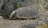 "Hairy Armadillo <div id=""caption_tourlink"" align=""right""> [photo © guide George Armistead]</div>"