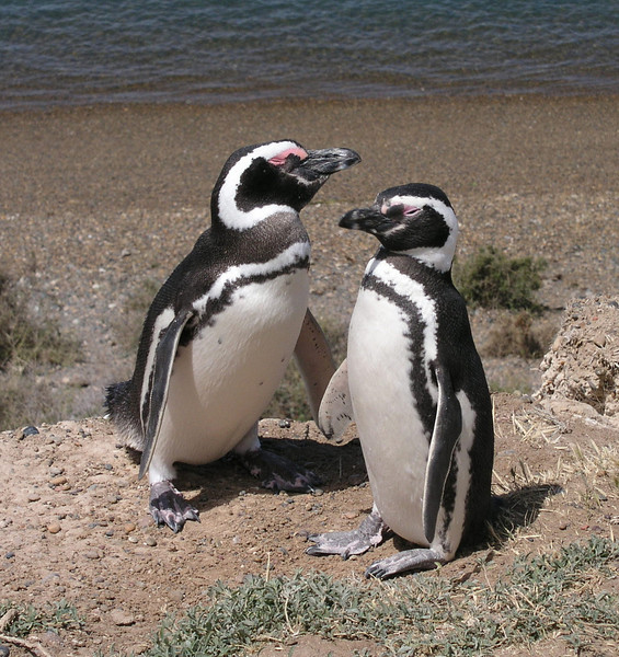 "Magellanic Penguins <div id=""caption_tourlink"" align=""right""> [photo © participant Marge Barrett]</div>"