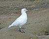 "Snowy Sheathbill <div id=""caption_tourlink"" align=""right""> [photo © guide George Armistead]</div>"