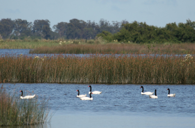 """The Pampas are a great place for waterbirds, marsh birds, and waterfowl, like these Black-necked Swans. <div id=""""caption_tourlink"""" align=""""right""""> [photo © guide George Armistead]</div>"""