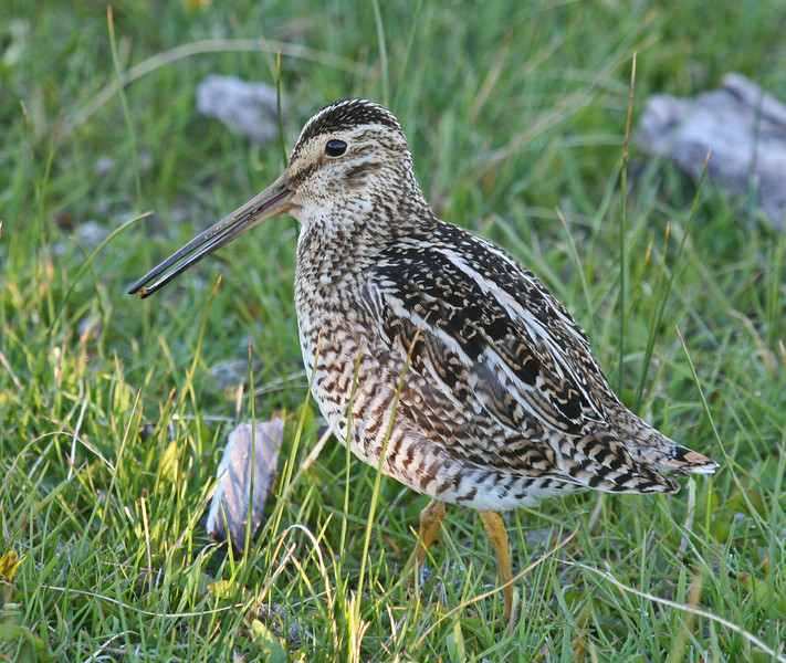 "South American Snipe <div id=""caption_tourlink"" align=""right""> [photo © guide George Armistead]</div>"