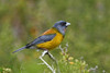 "Patagonian Sierra-Finch <div id=""caption_tourlink"" align=""right""> [photo © guide George Armistead]</div>"