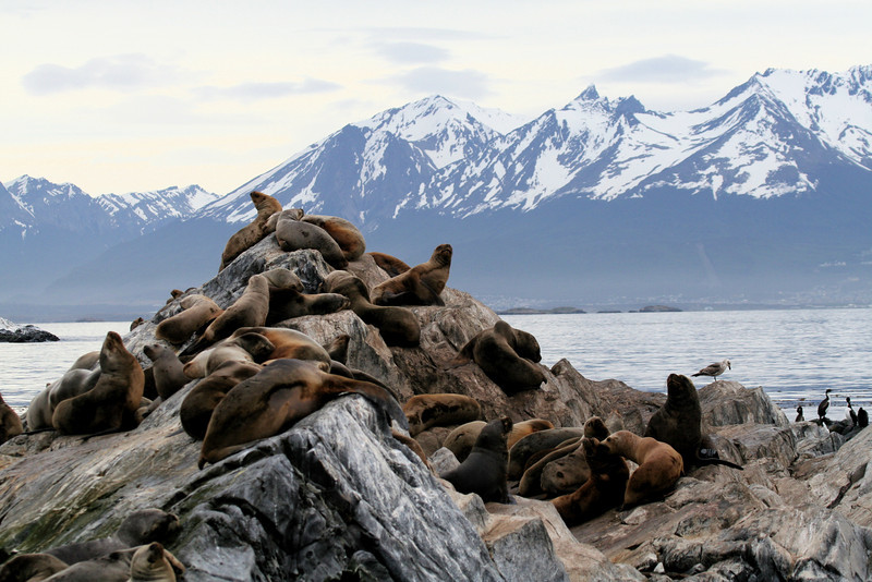 "Southern Sealions <div id=""caption_tourlink"" align=""right""> [photo © guide George Armistead]</div>"