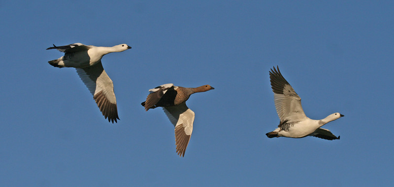"Upland Geese <div id=""caption_tourlink"" align=""right""> [photo © guide George Armistead]</div>"