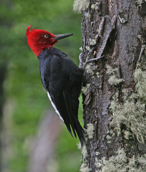 "Magellanic Woodpecker <div id=""caption_tourlink"" align=""right""> [photo © guide George Armistead]</div>"