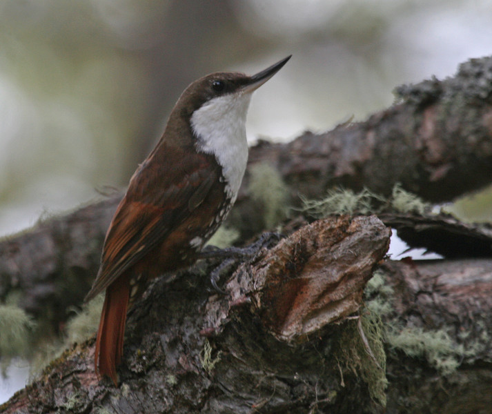 "White-throated Treerunner <div id=""caption_tourlink"" align=""right""> [photo © guide George Armistead]</div>"