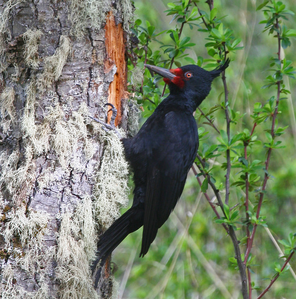 "A female Magellanic Woodpecker <div id=""caption_tourlink"" align=""right""> [photo © guide George Armistead]</div>"
