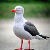"Dolphin Gull <div id=""caption_tourlink"" align=""right""> [photo © guide John Rowlett]</div>"