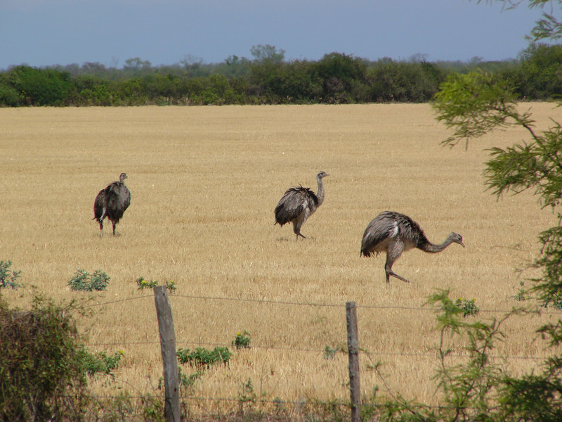 """In parts of the Pampas Greater Rheas are kept domestically, while others are free to roam wild. They prefer drier, more upland areas, and sometimes males are found with a line of youngsters trailing behind. Seeing a rhea is always a thrill. <div id=""""caption_tourlink"""" align=""""right""""> [photo © participant Marge Barrett]</div>"""