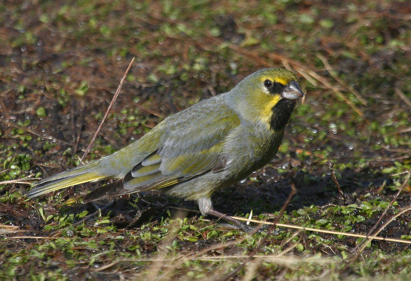 "The Yellow-bridled Finch <div id=""caption_tourlink"" align=""right""> [photo © guide George Armistead]</div>"
