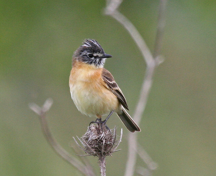 "The Bearded Tachuri is a most charming little flycatcher that occurs in only modest numbers and in just the least disturbed areas of the pampas. Always a lucky find! <div id=""caption_tourlink"" align=""right""> [photo © guide George Armistead]</div>"