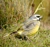 "Canary-winged or White-bridled Finch. <div id=""caption_tourlink"" align=""right""> [photo © guide John Rowlett]</div>"