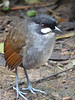 "Named for its disyllabic song, the 9-inch Jocotoco Antpitta was discovered in 1997 by Bob Ridgely in pursuit of an unknown barking sound. Although the Jocotoco has now been found in adjacent northern Peru, there are still only 16-20 territories known to ornithologists, and its range is tiny, most of it contained within the Tapichalaca Reserve.  <br><div id=""caption_tourlink"" align=""right""> [photo © guide Rose Ann Rowlett]</div>"