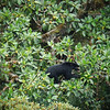 "...a Spectacled Bear, South America's only bear, foraging on fruits in the canopy! Considered Vulnerable on the IUCN Red Data List, this small, shy bear is rarely seen. We'll certainly give the canopy another scan!  <br><div id=""caption_tourlink"" align=""right""> [photo © guide Mitch Lysinger]</div>"