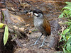 "For it's Franco who brings the earthworms. It was Franco who worked hard to induce these big Jocotoco Antpittas to emerge for a reward of earthworms each morning around 8:30AM until they became habituated to the awed human observers around them. It took considerble practice in the art of ""earthworming.""  <br><div id=""caption_tourlink"" align=""right""> [photo © guide Mitch Lysinger]</div>"