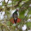 "...there's always somebody else in line, here the widespread Rufous-tailed Hummingbird.  <br><div id=""caption_tourlink"" align=""right""> [photo © guide Richard Webster]</div>"