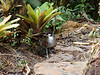 "Some mornings one of the ""trained"" antpittas is standing right beside the trail, impatiently awaiting Franco's arrival.  <br><div id=""caption_tourlink"" align=""right""> [photo © guide Mitch Lysinger]</div>"