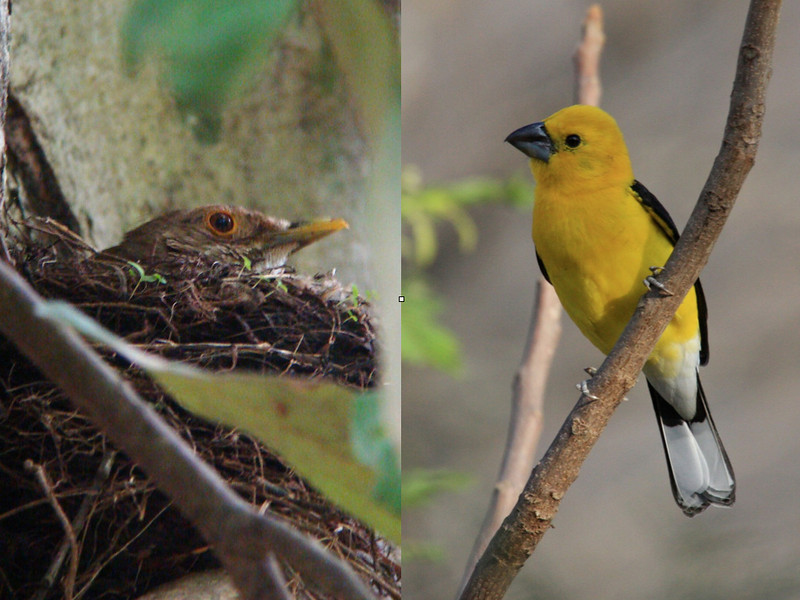 "The commensurate burst of breeding activity (exhibited here by an Ecuadorian Thrush) produces ubiquitous birdsong and color (as illustrated by this male Golden-bellied Grosbeak).  Hence the timing of our tour--when the scenery and the birding of Tumbesia are at their best.  <br><div id=""caption_tourlink"" align=""right""> [photos © participant Diana Bradshaw & guide Richard Webster]</div>"