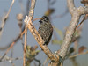 "With a little help from the pygmy-owls, we find most of their potential prey, which (like this Ecuadorian Piculet) gather to mob the calling owls. Piculets are tiny woodpeckers that creep along slender branches, never using their tails as a brace, for, unlike other woodpeckers, their rectrices are not stiffened.  <br><div id=""caption_tourlink"" align=""right""> [photo © guide Richard Webster]</div>"