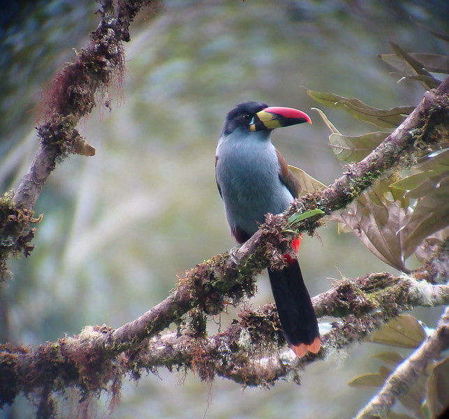 "Another possibility is the Gray-breasted Mountain-Toucan, the most colorful of the lovely group.  <br><div id=""caption_tourlink"" align=""right""> [photo © guide Mitch Lysinger]</div>"