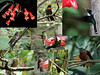 "Just outside the lodge itself, we're surrounded by flowers and hummingbird feeders--and the many hummers they attract!  Can you identify these possible hummers?  From lower left, clockwise, Fawn-breasted Brilliant, Amethyst-throated Sunangel, Little Sunangel, Collared Inca, Chestnut-breasted Coronet, Little Sunangel (note the variation in gorget color), and the scarce Rufous-capped Thornbill. At center is a female Mountain Velvetbreast (note the decurved bill).  <br><div id=""caption_tourlink"" align=""right""> [photos © guides Mitch Lysinger & Richard Webster]</div>"