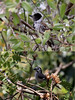 "Others include Collared Antshrike (a male here) and White-headed Brush-Finch, both fairly common in the immediate vicinity of the lodge.  <br><div id=""caption_tourlink"" align=""right""> [photos © guide Richard Webster]</div>"