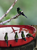 "Back at the lodge itself we enjoy the many hummingbirds at the feeders that line the open-air dining area.  These handsome Green Thorntails are common attendants.  <br><div id=""caption_tourlink"" align=""right""> [photos © guides Richard Webster & Rose Ann Rowlett]</div>"