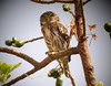 "The rapid whistles of the diurnal Peruvian Pygmy-Owl are commonly heard in the greening woodlands, where these tiny owls declare their territories and hunt small birds.  <br><div id=""caption_tourlink"" align=""right""> [photo © guide Richard Webster]</div>"