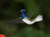 "Striking White-necked Jacobins occur in small numbers, and... <br><div id=""caption_tourlink"" align=""right""> [photo © guide Richard Webster]</div>"