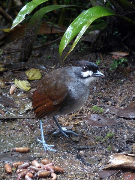 """Fortunately, given the usual weather at Tapichalaca, at least one Jocotoco Antpitta usually appears even on rainy mornings. It was the discovery of this rare, range-restricted species that led to the establishment of Fundación Jocotoco, to whom we all owe thanks for their Herculean efforts at protecting habitat for all of Ecuador's endangered species.  <br><div id=""""caption_tourlink"""" align=""""right""""> [photo © guide Rose Ann Rowlett]</div>"""