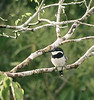 "Pied Puffbird <div id=""caption_tourlink"" align=""right""> [photo © guide Dave Stejskal]</div>"