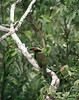 "Male Golden-collared Toucanet <div id=""caption_tourlink"" align=""right""> [photo © guide Dave Stejskal]</div>"