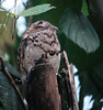 "Common Potoo on its dayroost <div id=""caption_tourlink"" align=""right""> [photo © guide Dan Lane]</div>"