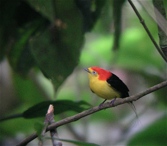 "Wire-tailed Manakin male <div id=""caption_tourlink"" align=""right""> [photo © guide Dave Stejskal]</div>"