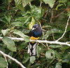 "Male White-tailed Trogon<div id=""caption_tourlink"" align=""right""> [photo © guide Dave Stejskal]</div>"