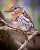 "Spot-backed Puffbird <div id=""caption_tourlink"" align=""right""> [photo © guide Bret Whitney]</div>"