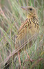 """Ochre-breasted Pipit <div id=""""caption_tourlink"""" align=""""right""""> [photo © guide Richard Webster]</div>"""