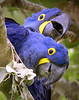 """Hyacinth Macaws <div id=""""caption_tourlink"""" align=""""right""""> [photo © guide Bret Whitney]</div>"""