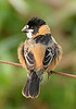 """Rusty-collared Seedeater <div id=""""caption_tourlink"""" align=""""right""""> [photo © participant Peggy Keller]</div>"""