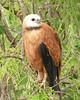 """Black-collared Hawk <div id=""""caption_tourlink"""" align=""""right""""> [photo © guide Dave Stejskal]</div>"""