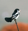 """Cock-tailed Tyrant <div id=""""caption_tourlink"""" align=""""right""""> [photo © guide Dave Stejskal]</div>"""