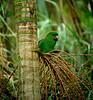 "Blue-bellied Parrot<div id=""caption_tourlink"" align=""right""><br>[photo © guide John Rowlett]</div>"