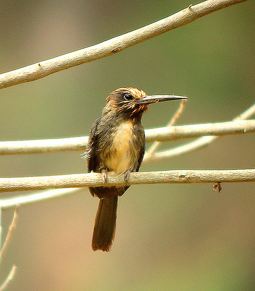 "Three-toed Jacamar<div id=""caption_tourlink"" align=""right""><br>[photo © guide John Rowlett]</div>"