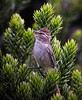 "Striolated Tit-Spinetail <div id=""caption_tourlink"" align=""right""><br>[photo © guide John Rowlett]</div>"