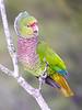 "Vinaceous Parrot <div id=""caption_tourlink"" align=""right""><br>[photo © guide John Rowlett]</div>"