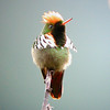 "Frilled Coquette <div id=""caption_tourlink"" align=""right""><br>[photo © guide John Rowlett]</div>"